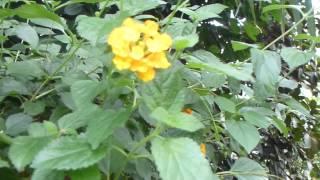 RHS Wisley Garden - Gul Lantana blóm - Verbenas - Fiðrildablóm - Sumarblóm