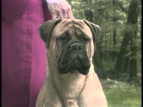 Bullmastiff - AKC Dog Breed Series
