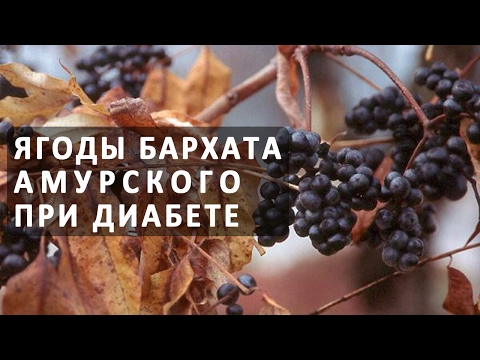 Бархат амурский ягоды / Здоровое питание / каталог