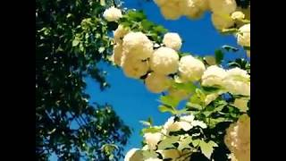 Бульденежки цветут, как невесты: белые, чистые, веселые.