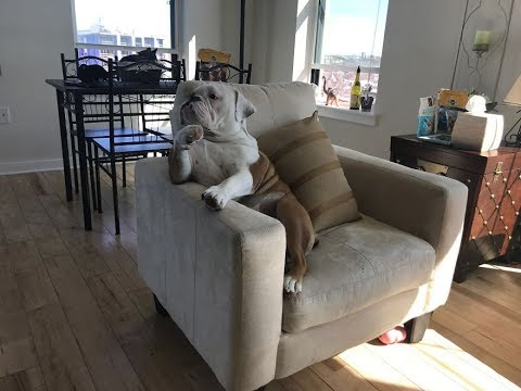 Meet Walter – An English Bulldog Who Likes To Sit Like A Human In His Favorite Chair