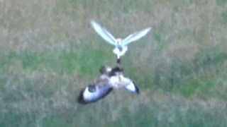 Barn Owl mugged by a Buzzard