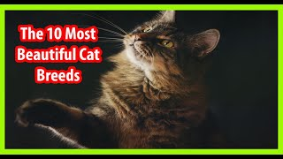 Top 10 Most Beautiful Cat Breeds . The best cats in the world .