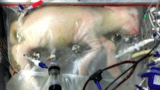 Artificial womb for lambs could someday help premature babies