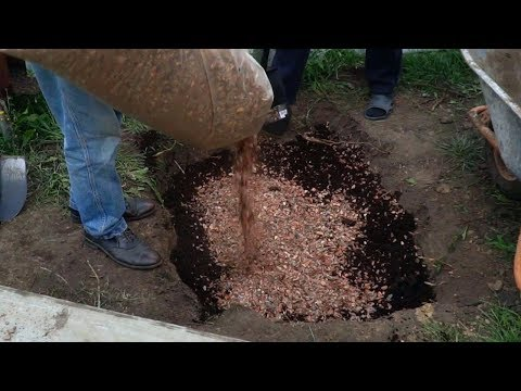 Голубика садовая. Посадка голубики. Как правильно подготовить яму. Уход. #1