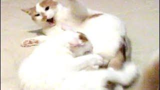 Cute Cats Fight