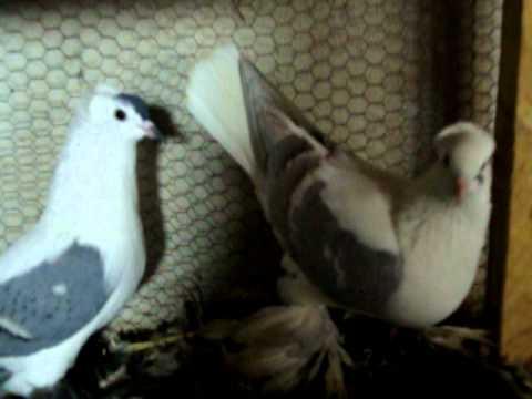 Çayka Güvercin - Güvercin TV