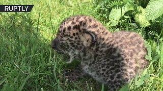 В крымском сафари-парке появился на свет редчайший дальневосточный леопард