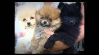 Housetraining Pomeranians