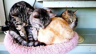 猫ちゃん ふれあいランド Sleeping Cat