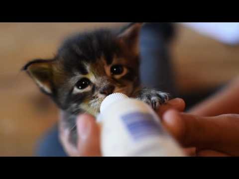 Hand feeding cute Maine Coon Kitten!
