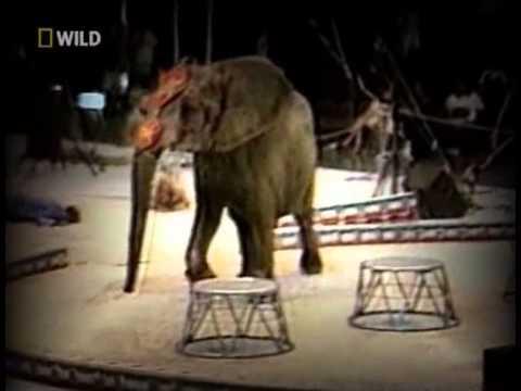 В Таиланде дикий слон Lentaru