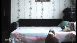 Этому псу запрещено находиться на кровати  Хозяйка решила установить скрытую камеру и проверить, что