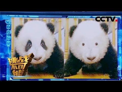 """《挑战不可能之加油中国》 """"萌滚滚""""都被""""玩坏了""""!没有黑眼圈的国宝引爆笑 20190324   CCTV挑战不可能官方频道"""