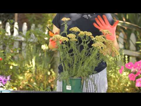 How to Cut Back Yarrow : Garden Space