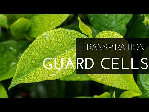 TRANSPIRATION PART-2.GUARD CELL WORKING MECHANISM WITH POTASSIUM-MALATE THEORY(BENGALI)