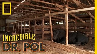 Limping Bull - Client Tales | The Incredible Dr. Pol
