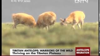 Tibetan antelope: Warriors of the wild