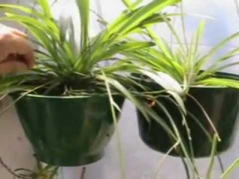 the amazing air purifying spider plant youtube. Black Bedroom Furniture Sets. Home Design Ideas