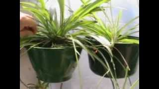 The Amazing (air purifying) Spider Plant