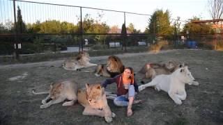 Очень красивая  фото-сессия среди девяти львов вовремя переклички