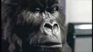 Cadbury's Gorilla Advert Aug 31st 2007(Cadburys 2007 advert featuring Gorilla / Ape. Watch as the Gorilla feels the air. See the expressions as the Gorilla prepares for the moment and watch as it ..., 2007-08-31T23:42:32.000Z)