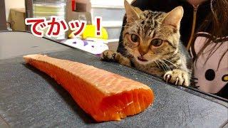 猫に巨大なサーモンをプレゼントするとこうなりますw