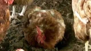 Conheça criação de aves com manejo que dispensa qualquer tipo de violência
