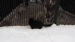 Очень смелая кошка охотится. 20.01.19 г.