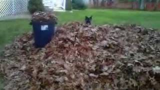 I went home for Thanksgiving and went out to rake with the dog. Yuk...