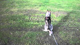 Are Siberian Husky's Fast?