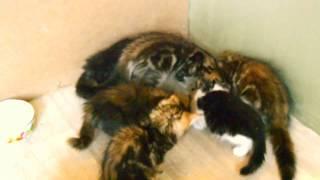 Сибирские котята, наша банда!