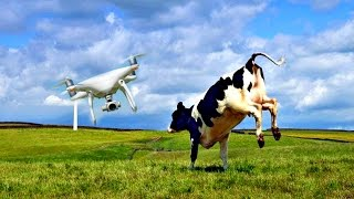 DJI Phantom 4 Drone vs Angry Cow!!