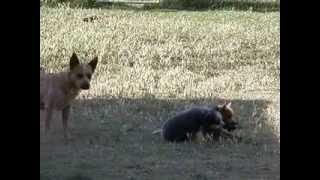 Australian Cattle Dog Mom Teaching Her Pups
