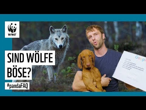 Sind Wölfe für den Menschen gefährlich? Wolf-Experte beantwortet Fragen | WWF Deutschland