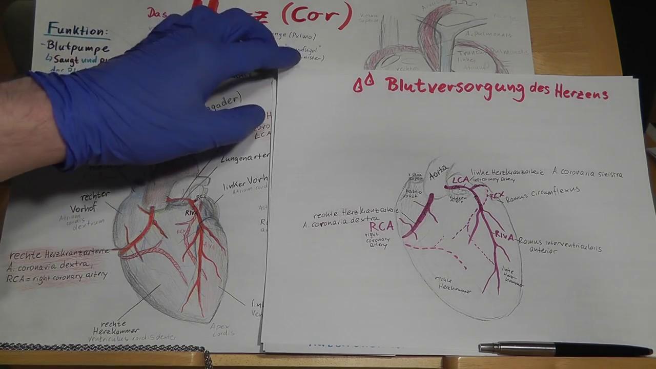 Blutversorgung des Herzens, Herzkranzgefäße & Herzinfarkt erklärt ...