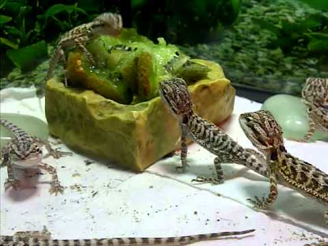 Baby Bearded Dragons Eating Kiwi For First Time Hand Feed