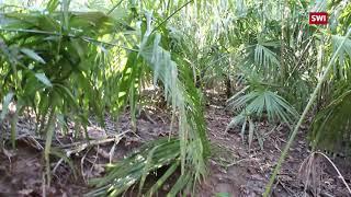 Китайские пальмы заполонили лес в Тичино