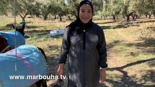 عروسة لالة حادة تشارككم أجواء جني الزيتون مع عائلتها