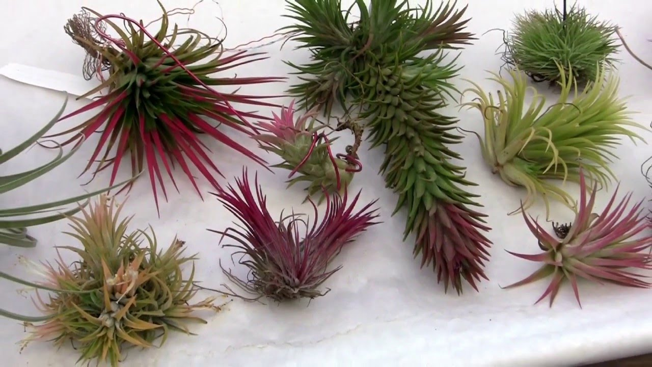 Barry Landau S Tropical Planet Tillandsia Ionantha Forms And