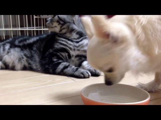 Cat&Dog 氷を取り合うチワワとアメショー