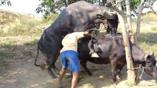 Buffalo mating special