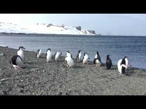 Жизнь Пингвинов в Antarctica 2016 Leaders Club