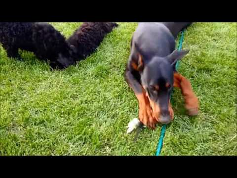 Mrvica the Doberman plays with Kerry Blue Terrier puppies Vol.2