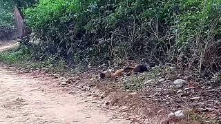 Monkey killed by yellow thorted Martin sabhar road Corbett national park dhikala jone