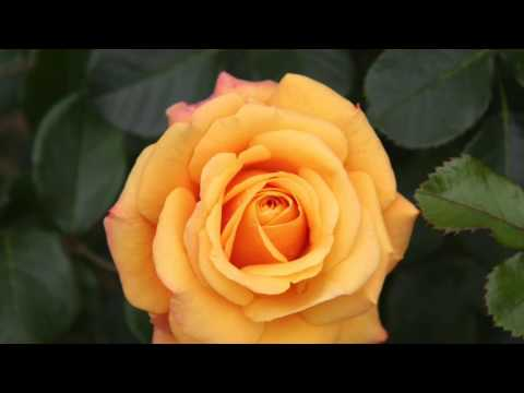Melody Only -- This Little Rose