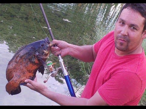 Biggest Oscar Fish Tank Astronotus Ocellatus In Full High ...