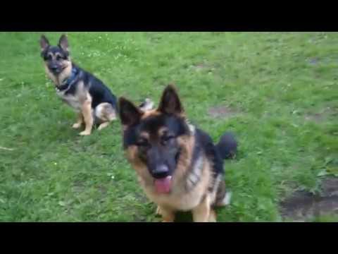 King Shepherd vs. German Shepherd  - Size and Strength Comparison 2016