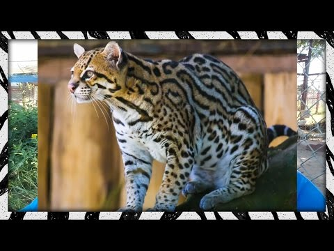 Got a call to rescue an ocelot!
