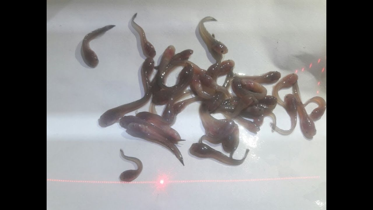 cat-fish-seized-by-custom-officer-in-huge-quantity-at-shamshabad-rgi-while-transpoting